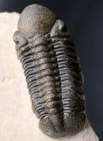 保存状態大変良好!、モロッコ産の三葉虫、リードプス(Reedops cephalotes)の化石