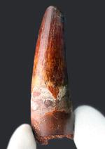 ワンランク上の美しいエナメル質が保存された肉食恐竜スピノサウルス(Spinosaurus)の歯化石。白亜紀の北アフリカの覇者