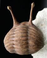 希少!最も人気のあるアサフス!「ロングアイ」の二つ名を持つ、ロシア産三葉虫、アサフス・コワレフスキー(Asaphus kowalewskii)