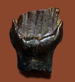 ディーラーを悩ませる歯化石、希少な希少なアンキロサウルスの歯化石(Ankylosaurus)