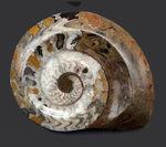 アンモナイトの祖先、直径最大部15センチ超える大判のゴニアタイト(Goniatite)の化石