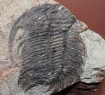 ナチュラルな産状。最も初期の三葉虫の一つ、レア種、パラドキシデスの部分化石