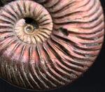 ラージサイズ&ハイクオリティ!ロシア産の遊色アンモナイト、クエンステッドセラス(Quenstedotoceras)の遊色標本