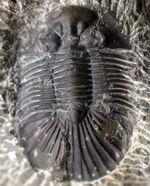 扇状の大きな尾板が特徴、モロッコ産デボン紀の三葉虫、スクテラム
