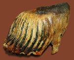 オランダ産ウーリー(ケナガ)マンモスの臼歯の化石。全形が残る良質品。