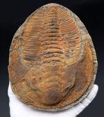 極めて上質、全景が保存された、初期の三葉虫、アンダルシアナ(Andalsiana)の化石。古生代カンブリア紀に棲息していた原始的三葉虫