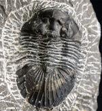 扇状の大きな尾板が特徴の三葉虫、スクテラム(Scutellum)の化石