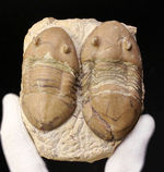 兄弟のような並びが面白い!珍しい米国産のアサフス目の三葉虫、ホモテラス・ブロミデンシス(Homotelus bromidensis)のマルチ化石