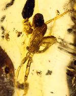 デッカイ!巨大な蜘蛛を内包したマダガスカル産コーパル(Copal)
