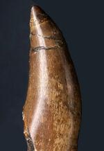 プレミアム化石