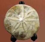 1.5億年前にもウニはいた。マダガスカル産のウニの化石