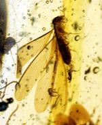 40匹以上!多数の虫を内包したマダガスカル産の非常に透明度の高いコーパル(Copal)。クモ、翅虫など多数。