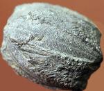 石炭紀の海ツボミ、ペントレミテス(Pentremites rusticus)のクラウンの化石。米国オクラホマ州産。