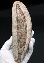 18センチ級、立派!白亜紀ブラジル産の絶滅古代魚の化石、ラコレピス(Rhacolepis)