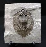 ベリーベリーレア!個性の塊!米国ニューヨーク州のシルル紀の地層から採集された「最上」の三葉虫アークティヌルス(Arctinurus boltoni )