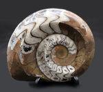 ベーシックな茶と白のツートン!古生代の頭足類、ゴニアタイト(Goniatite)の化石。美しい模様が保存された美品