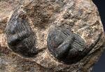 南部鉄器のような独特の模様を持つフリルにご注目ください!古生代オルドビス紀の三葉虫、オンニア(Onnia)のマルチ化石