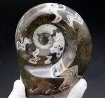 大判!濃いブラウンとホワイトが作り出すジグザグ模様、古生代デボン紀の頭足類、ゴニアタイト(Goniatite)の化石