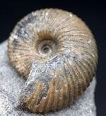 イングランド産の珍しいアンモナイト、ケプレリテス(Kepplerites)の上質の化石