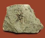 希少!スコットランド産オルドビス紀のヒトデ化石(Tetraster wyville-thompsoni)。チャールズ・ワイヴィル・トムソン氏記載標本。