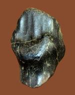 恐竜化石コレクター必見!ベリーレアなアンキロサウルスの大きな歯化石