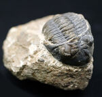 モロッコ産のデボン紀の三葉虫、メタカンティナ(Metacanthina)の化石