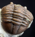 珍しいスウェーデン産、アサフス・エクスパンスス(Asaphus expansus)の化石。防御姿勢。