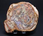 大結晶あり、潜晶質の結晶あり!約2億5千万年前の樹木の幹が宝石化した化石、珪化木(Petrified wood)