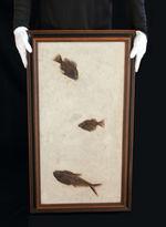83センチ、これぞ博物館級。パーフェクトな保存状態を示す古代魚ディプロミスタスとプリスカカラ二体が鎮座した額装化石。
