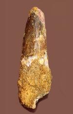 太いタイプ!当時の食物連鎖の頂点に君臨した、スピノサウルスの歯化石(Spinosaurus)