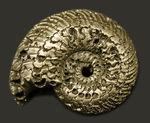ゴールドに輝く!ロシア産の黄鉄鉱化アンモナイト、クエンステッドセラス(Quenstedotoceras)の化石