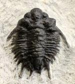 トゲトゲで奇々怪々なリカス目の三葉虫のなかでもとりわけ希少なロボピゲ(Lobopyge sp.)の化石