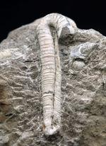 180度ターンが保存!北海道産の白亜紀の異常巻アンモナイト、ポリプチコセラスの化石