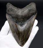 最強のコレクション!厚み、大きさ、状態、色、すべて極めて上質!メガロドン(Carcharocles megalodon)の巨大な歯化石