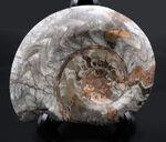 15センチ級!古生代デボン紀に繁栄したアンモナイトの祖先、立派なゴニアタイト(Goniatite)の化石