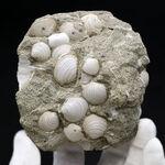 国産マニアックシリーズ!岐阜県は瑞浪層群の二枚貝、ウソシジミ(Felaniella usta)の群集化石