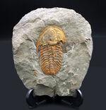 希少なカンブリア紀の三葉虫、大サイズかつ全形が保存された上質個体!ごく初期の三葉虫、パラドキシデス(Paradoxides)