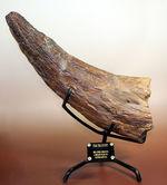 ぜひ家宝に!こんな格好良いホーンがあるでしょうか。美しいカーブを描く、最も有名な恐竜の一つ、トリケラトプス(Triceratops)のブロウホーンの化石。専用架台付き。