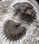扇形の尾板が特徴的なレアな三葉虫、ティサノペルティス(Thysanopeltis)の化石