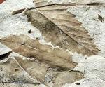 広葉樹の葉の化石。新生代、兵庫県須磨区産。