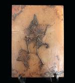 X線CT写真付き、ウルトラレア!博物館級5000万年前ドイツ・メッセル・ピット産の鳥(Bird)の化石。貴重なオールドコレクション