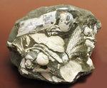 中新世前期の富山県の地層から採集された貝類の化石。マテ貝あり。