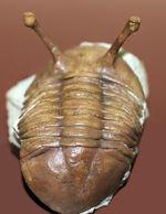 人気種、ロングアイ!2本の目がよく伸びた、ロシア産アサフス・コワレフスキーの上質標本