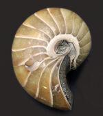 古生代から現世まで続いている生きた化石!中生代ジュラ紀の地層より採集された、典型的なオウムガイ(Nautilus)の化石