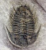 希少!米国ユタ州産三葉虫オレノイデス・ネヴァデンシス(Olenoides nevadensis)