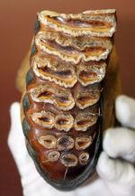 歯根、歯冠ともによく保存された上質のケナガマンモス(Mammuthus primigenius)の臼歯の化石