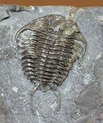 ウルトラレア!スーパーコレクション!三葉虫コレクター垂涎の標本!、キベロイデス・プラナ(Cybeloides plana)とセラウルス・グロブラツゥス(Ceraurus globulatus)。合わせてなんと5体のマルチプレート