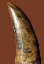 すべてが揃ったパーフェクトなティラノサウルス・レックスの歯化石。フォルム、サイズ(長さと厚み)、ジェムのようなエナメル質。