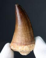 流れるようなカーブに周長80ミリもある太く頑強なルート部を併せ持つ、立派なモササウルス(Mosasaurus)の歯化石