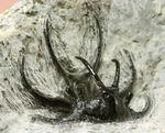 人気の希少種!モロッコ産三葉虫セラタルゲスの全身化石